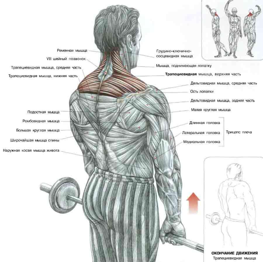 Качаем мышцы спины на картинках с упражнениями имеют
