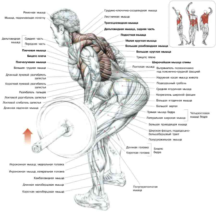 Мышца произвольная